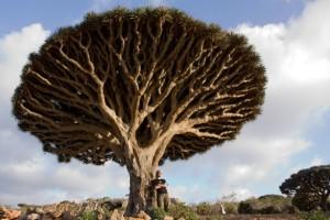 Cinnibar Tree